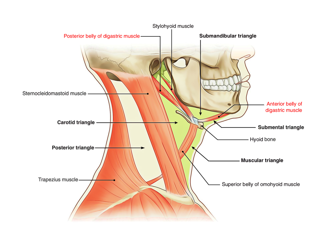 Digastric Muscle Diagram - Electrical Work Wiring Diagram •