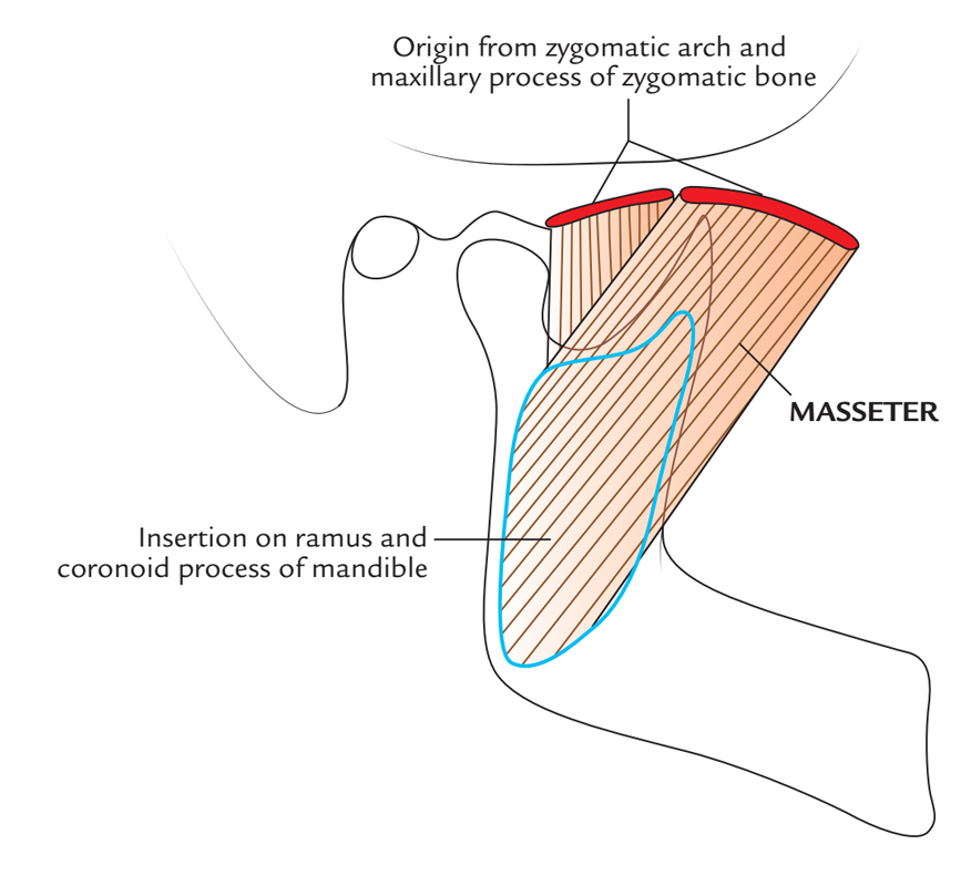 Masseter Muscle: Origin