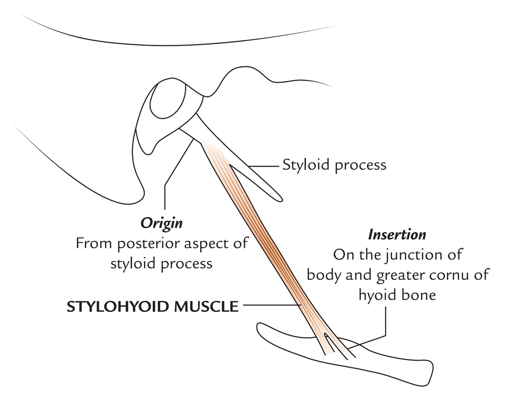 Origin and Insertion of Stylohyoid Muscle