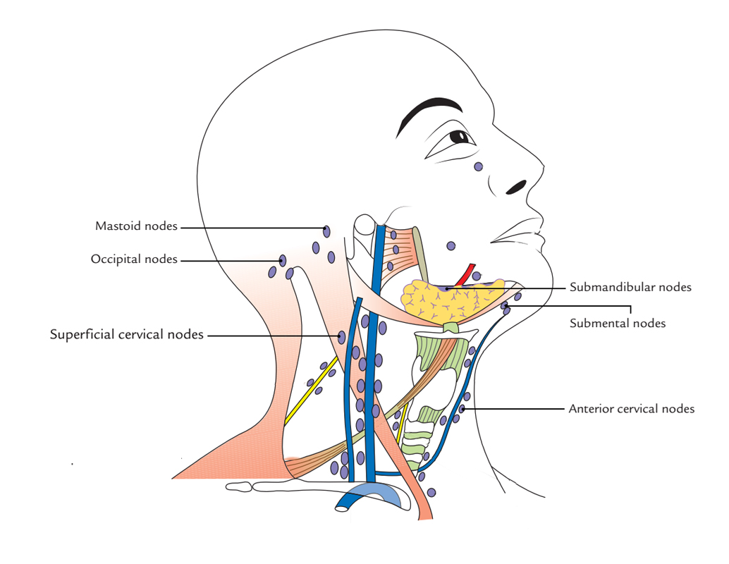 Peripheral Lymph Nodes - Outer circle