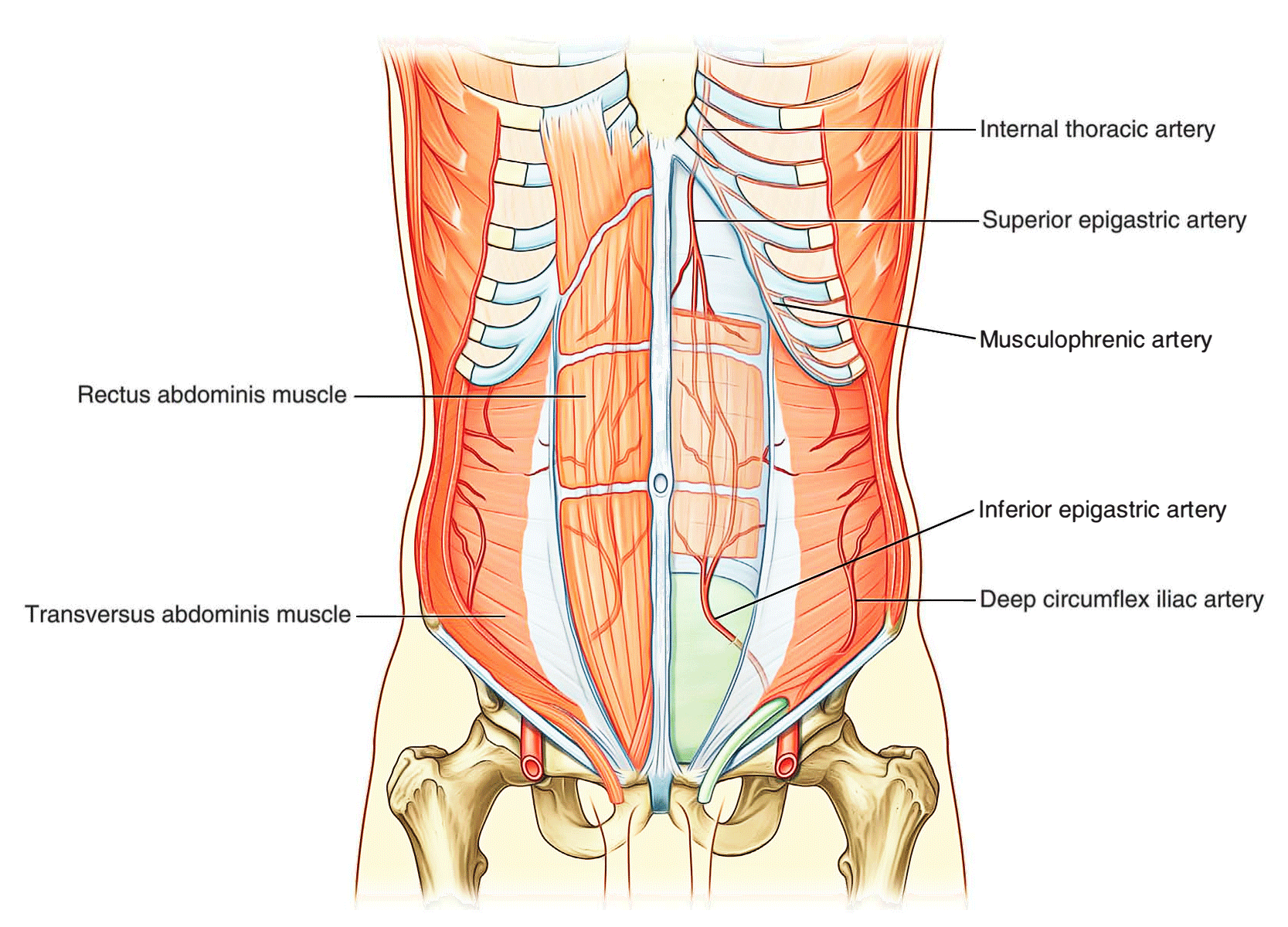 Easy Notes On 【Abdominal Wall】Learn in Just 3 Minutes!