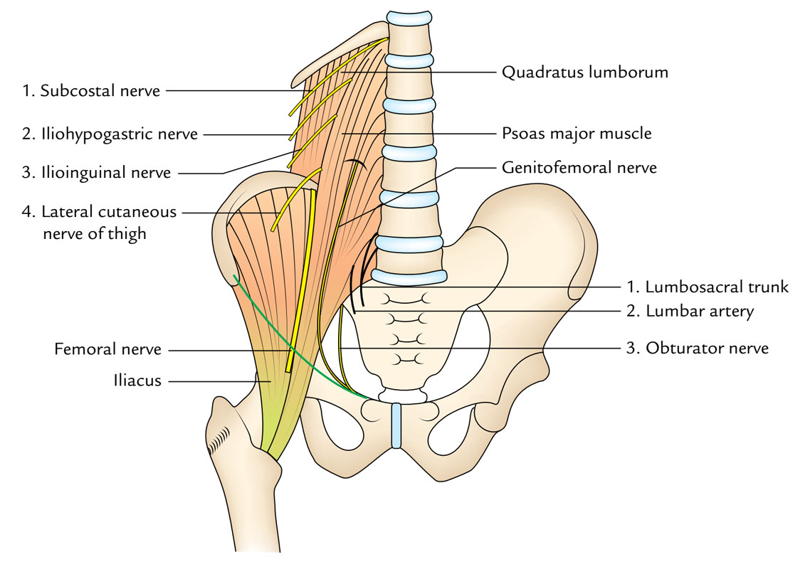 Psoas Major: Relations