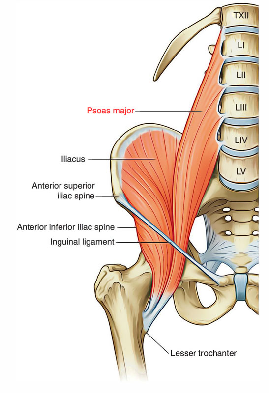 easy notes on psoas major learn in just 4 minutes