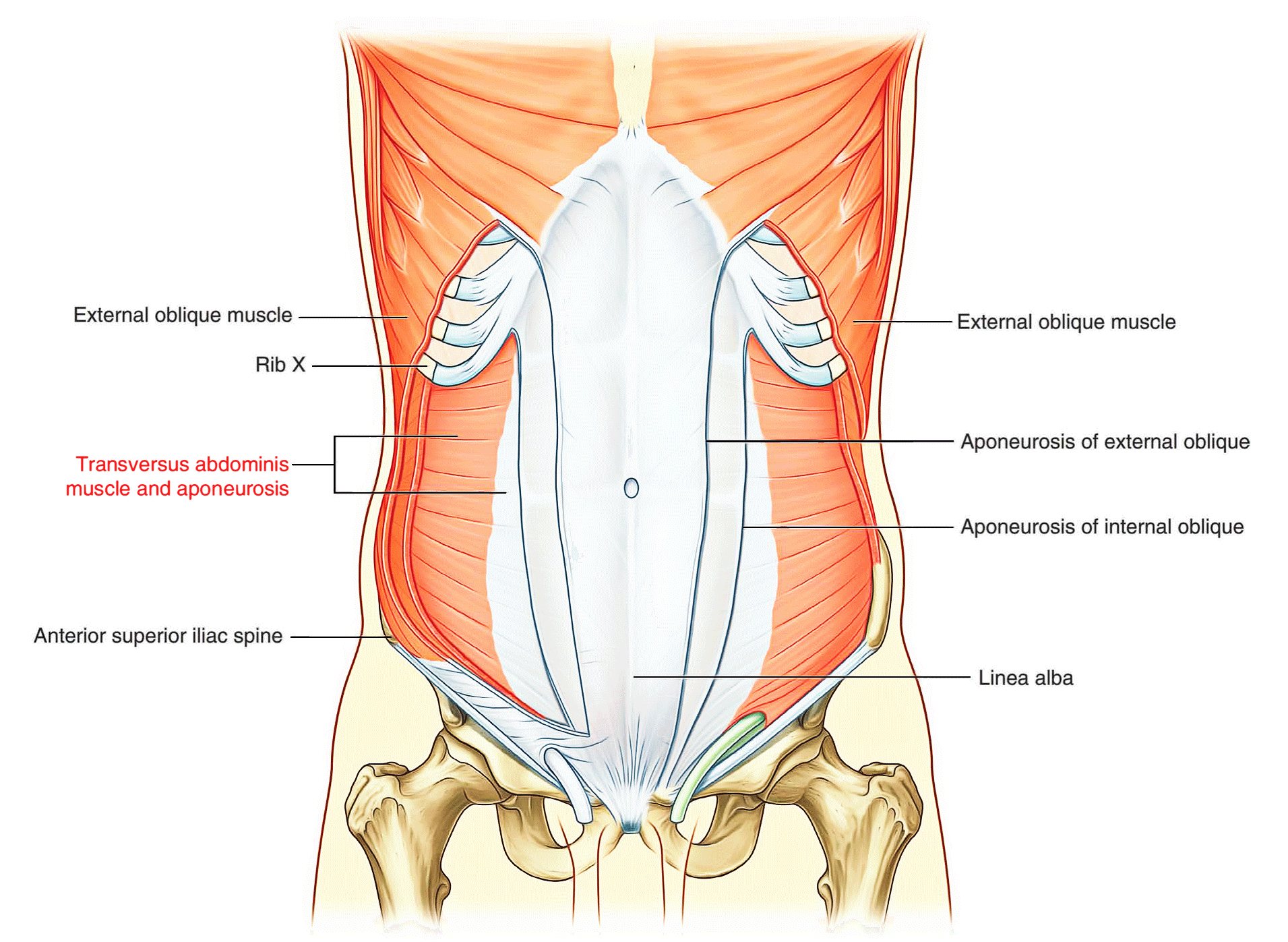 Rectus Abdominis Contraction Topsimages