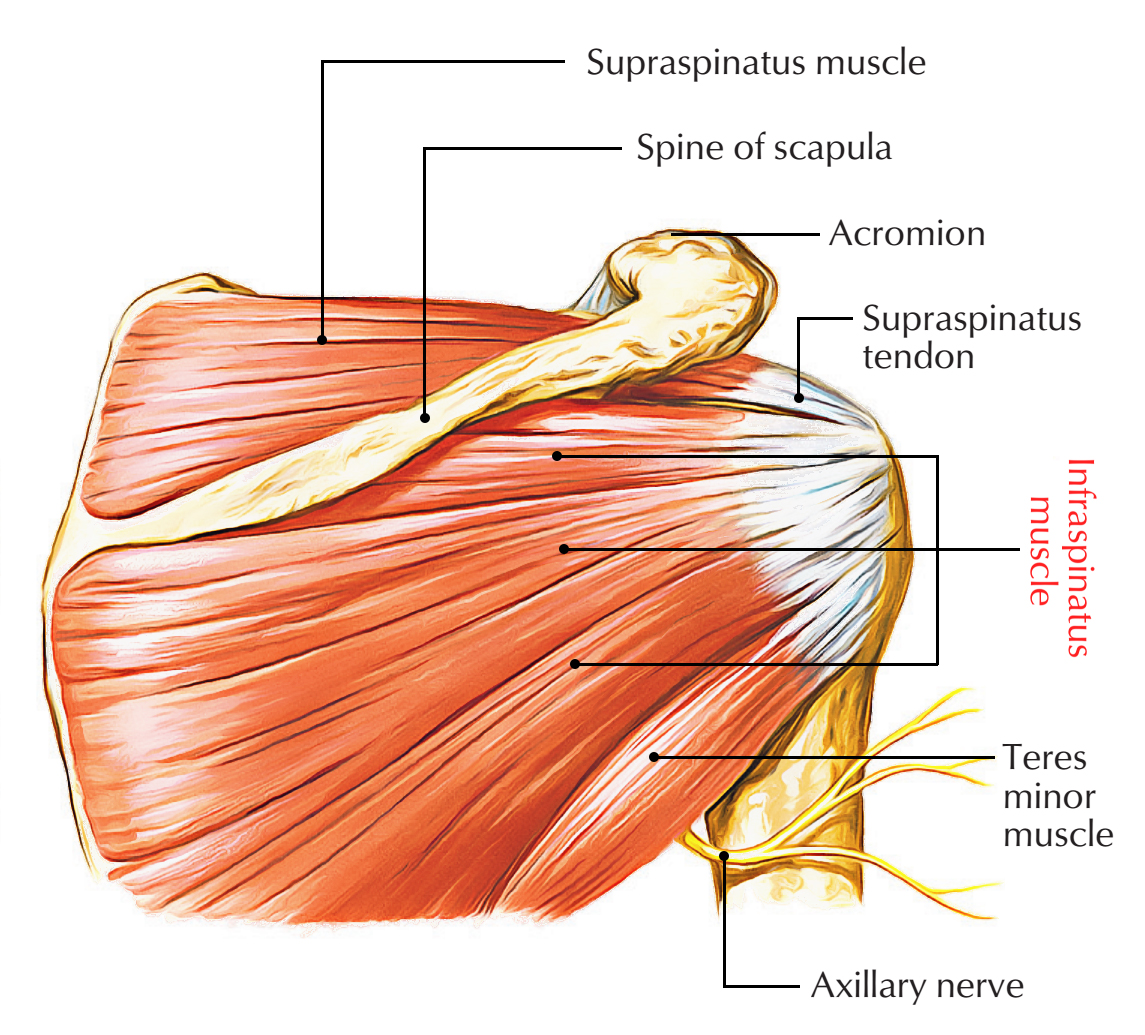 Infraspinatus Muscle