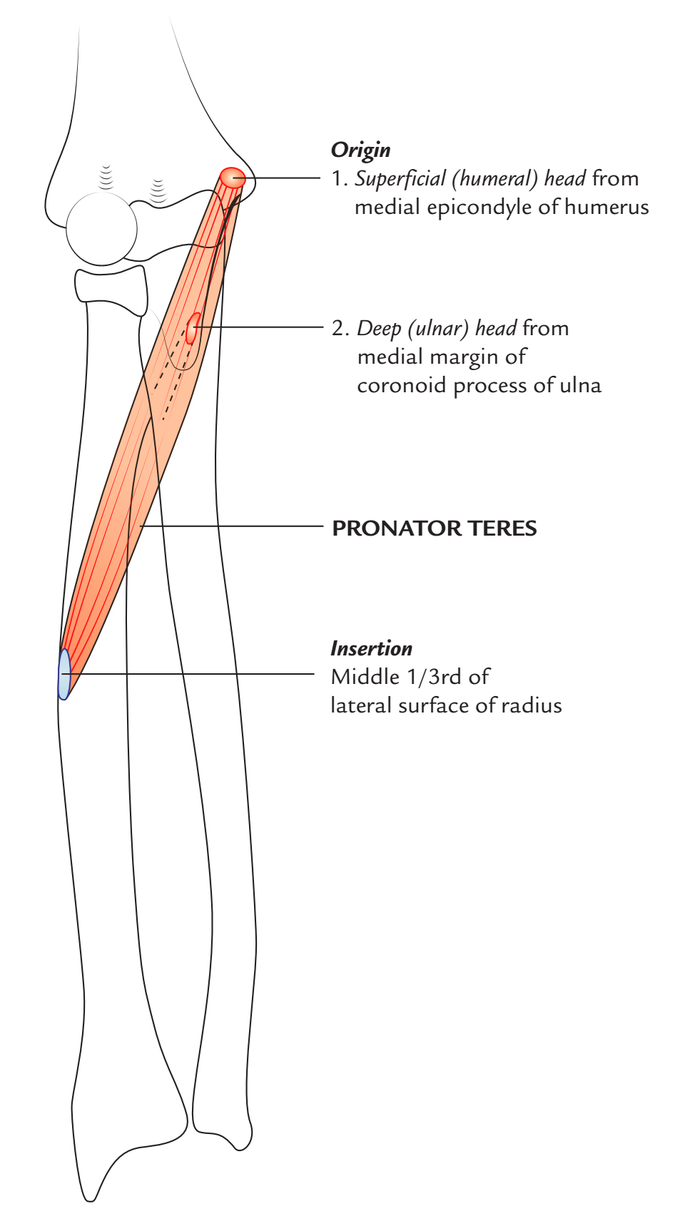 Pronator Teres - Origin and Insertion