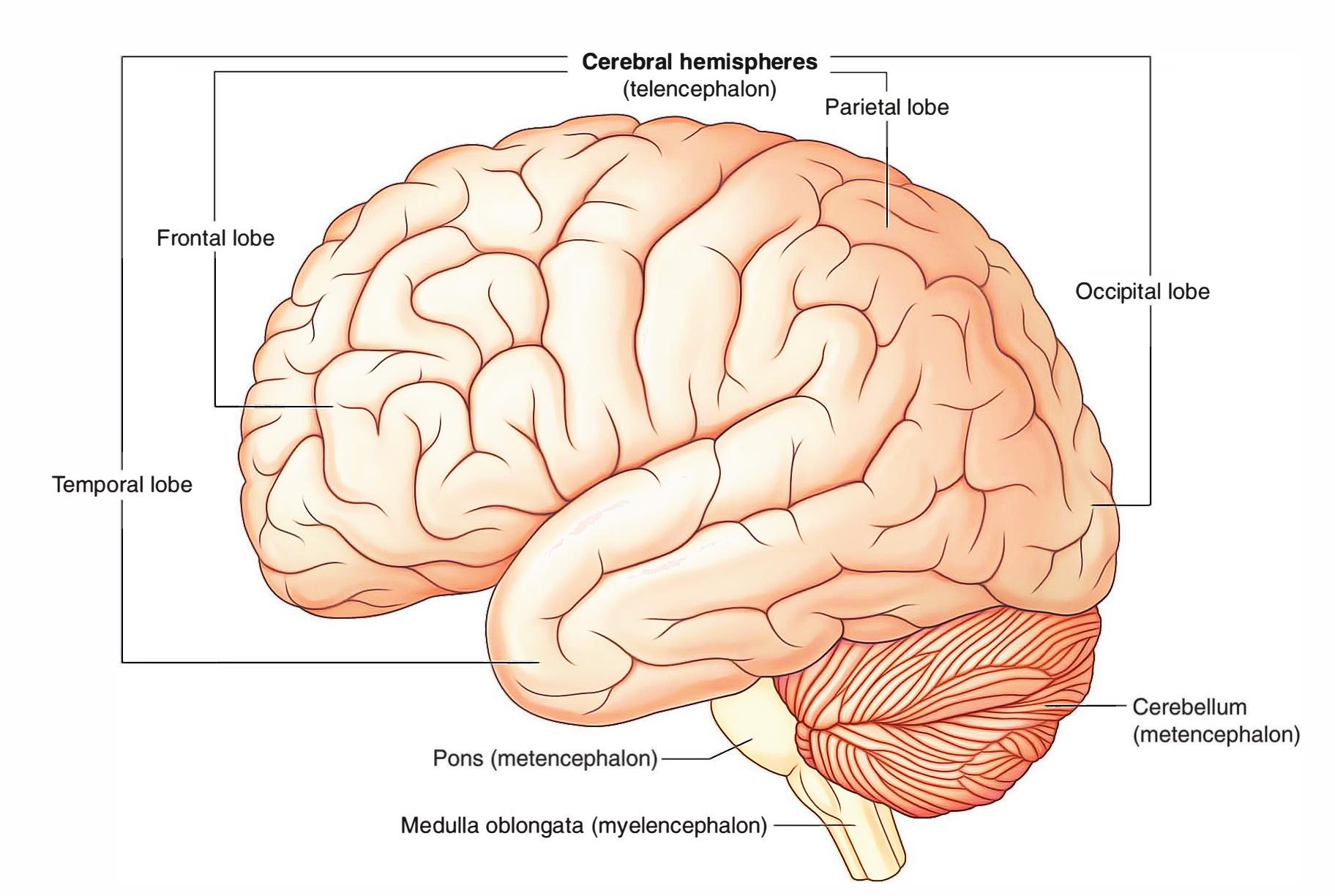 Parietal-lobe