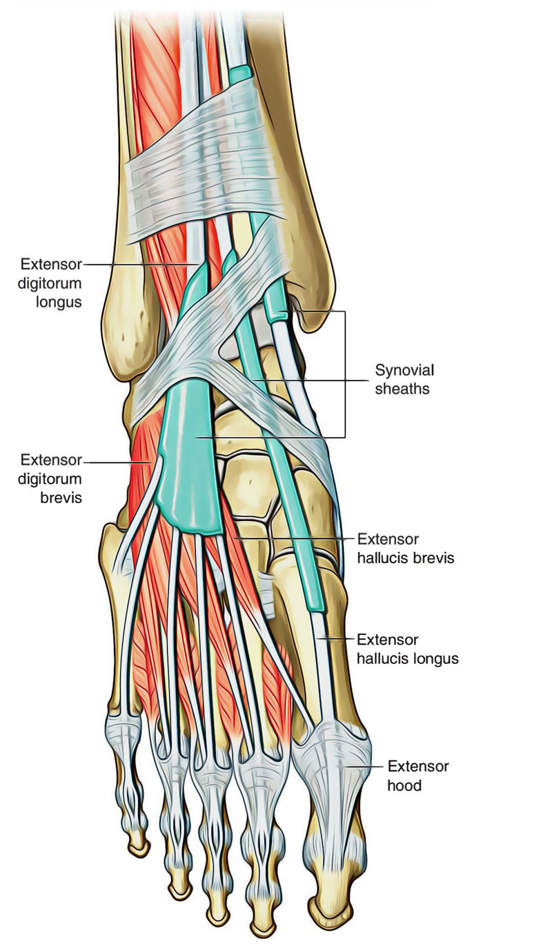 Leg Muscles: Muscles of the Dorsum of the Foot