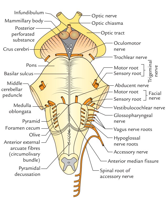 Anterior aspect of Brainstem