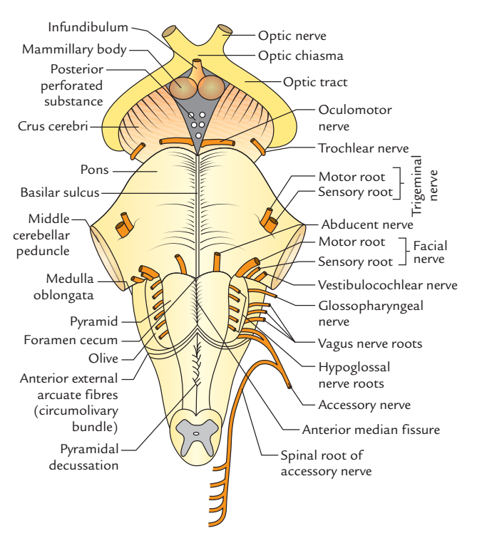 Posterior aspect of Brainstem